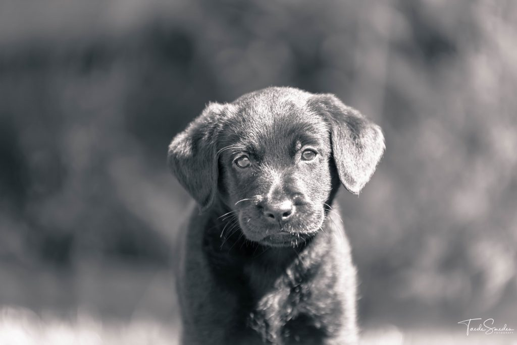 taede smedes, fotografie, hond, labrador, stabij, garyp