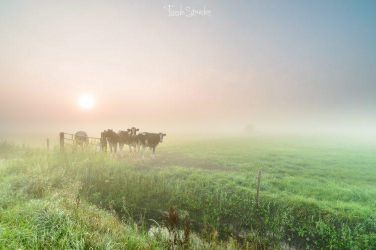 taede smedes, garijp, mist, koeien, stinswei, zonsopkomst