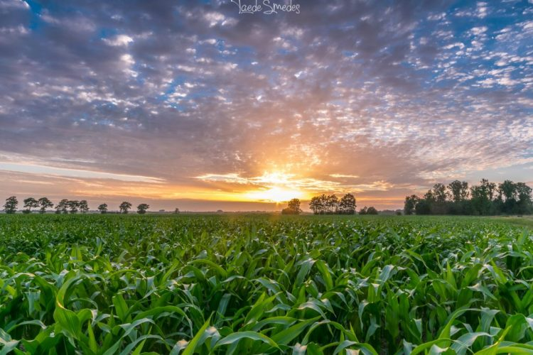 taede smedes, zonsondergang, garyp, maisveld, natuur