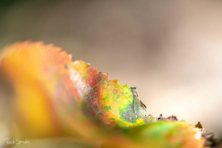 taede smedes, garijp, lanfschapsfotograaf, macrofotografie, herfst, herfstblaadje
