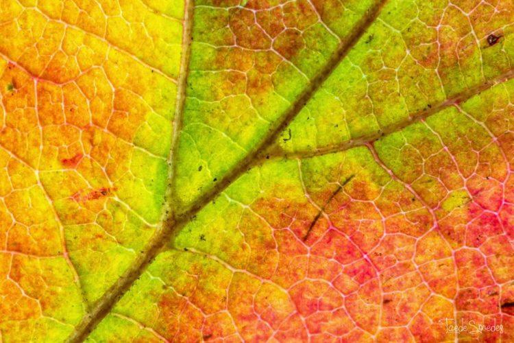 Taede Smedes, Macro fotografie, herfst, herfstblaabje, garyp