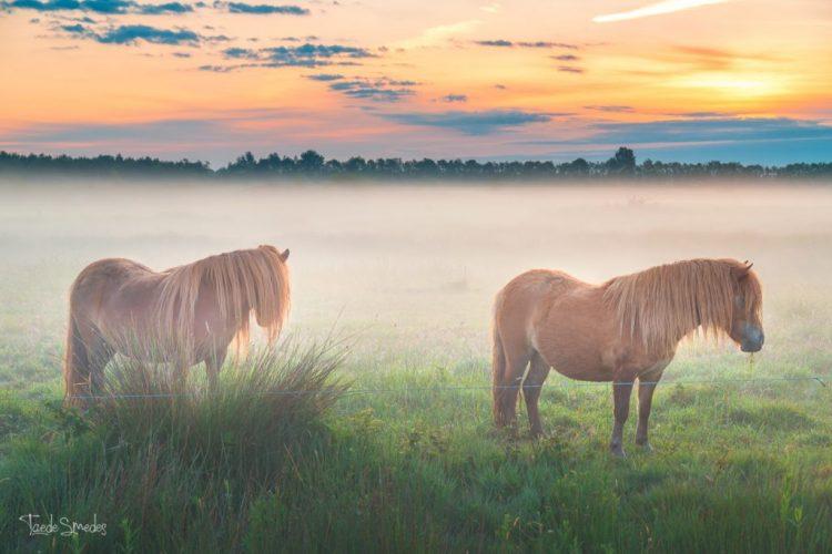 Taede Smedes, landschapsfotografie, mist, paarden, zonsopkomst