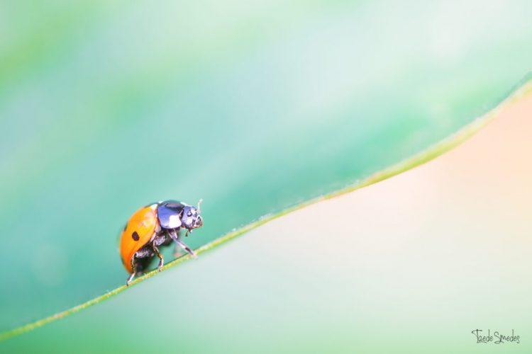 Taede Smedes, Macro, lieveheersbeestje, natuurfotografie